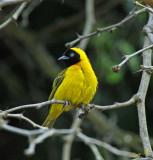 13139 - Lesser Marked Weaver / Lake Malawi - Malawi