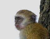 13169 - Vervet monkey / Lake Malawi - Malawi