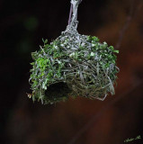 13189 - A nest / Lake Malawi - Malawi