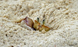 13274 - Hiding | Crab / Zanzibar - Tanzania