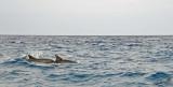 13334 - Dolphins / Zanzibar - Tanzania