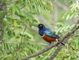 13355 - Superb Starling / Snake park - Arusha - Tanzania