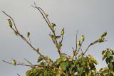 13513 - Fischer's Lovebirds / Snake park - Arusha - Tanzania