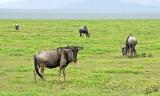 13594 - Wildebeest / Serengeti - Tanzania