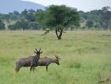 13616 - Topi / Serengeti - Tanzania