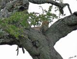 13618 - Leopard / Serengeti - Tanzania