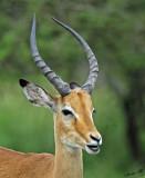 13689 - Impala / Serengeti - Tanzania