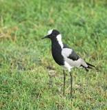 13802 - Blacksmith Lapwing / Ngorongoro - Tanzania