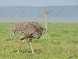 13886 - Ostrich / Ngorongoro - Tanzania