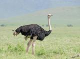 13889 - Ostrich / Ngorongoro - Tanzania