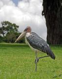 13944 - Marabou Stork / Ngorongoro - Tanzania