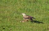 13966 - Eagle / Masai Mara - Kenya