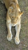14014 - Lioness / Masai Mara - Kenya