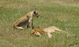 14030 - Oh, please, get up and do something... | Lions / Masai Mara - Kenya