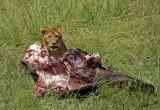 14050 - Lions cub with some food... | Lion / Masai Mara - Kenya