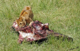 14053 - Lions cub with some food... | Lion / Masai Mara - Kenya