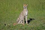14092 - Cheetah / Masai Mara - Kenya