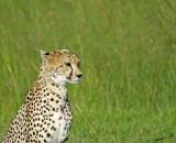 14106 - Cheetah / Masai Mara - Kenya