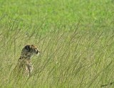 14121 - Looking for food... | Cheetah / Masai Mara - Kenya