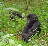 14138 - Silver back gorilla 's baby / (DRC) Congo