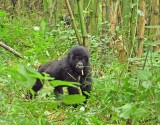 14143 - Silver back gorilla's baby / (DRC) Congo