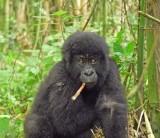 14152 - Silver back gorilla's baby / (DRC) Congo