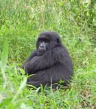 14158 - Silver back gorilla / (DRC) Congo