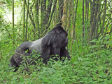 14176 - Silver back gorilla / (DRC) Congo