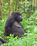14194 - Silver back gorilla / (DRC) Congo