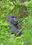 14211 - Silver back gorilla / (DRC) Congo