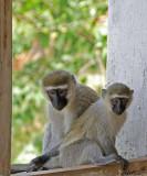 14246 - Vervet monkey / Jinja - Uganda