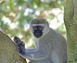 14302 - Vervet monkey / Jinja - Uganda