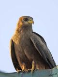 14355 - Black kite / Jinja - Uganda