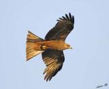 14428 - Black kite / Jinja - Uganda