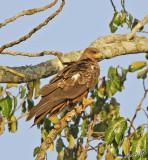 14438 - Black kite / Jinja - Uganda