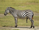 14518 - Who ask me for this photo? | Zebra / Lake Nakuru - Kenya