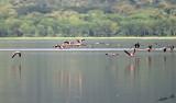 14519 - Flamingos / Lake Nakuru - Kenya