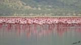14540 - Pink carpet | Flamingos / Lake Nakuru - Kenya