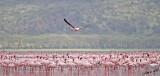 14555 - Flamingos / Lake Nakuru - Kenya