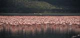 14568 - Flamingos / Lake Nakuru - Kenya