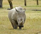 14597 - Attack! | White rhino / Lake Nakuru - Kenya