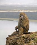 14663 - Baboon / Lake Nakuru - Kenya