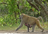 14670 - Baboon with a baby / Lake Nakuru - Kenya