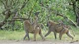 14675 - Baboona with a babies / Lake Nakuru - Kenya