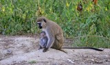 14714 - Vervet monkey with baby / Lake Nakuru - Kenya