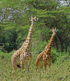 14734 - Giraffes / Lake Naivasha - Kenya