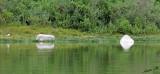 14766 - White/Green reflection / Lake Naivasha - Kenya