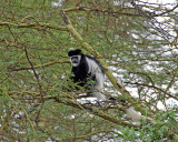 14770 - Colobuses / Lake Naivasha - Kenya