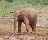 14803 - Taking a mud bath | baby elephant / The David Sheldrick Wildlife Trust - Nairobi - Kenya