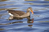 14906 - Duck / ? - London - England